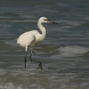 2004-reddish egret white phase_Egmont Key