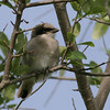 2007-loggerhead shrike youngster_Ft Desoto