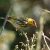 2004-Cape May warbler_Egmont Key