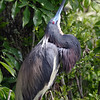 2012- tricolor heron displaying_ Gatorland rookery- April
