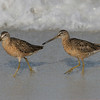 2006-short-billed dowitcher_AMI