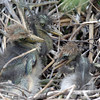 2012- tricolor heron chicks_ Gatorland rookery
