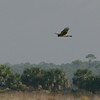 2012- northen harrier_ St Marks NWR