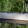 2007-youngster alligators_Corkscrew Swamp