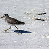 2010- short-billed dowitcher_ Sanibel_ Nov