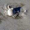 2010- persephone crab_ Sanibel winter storm_ Nov