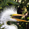 2012- great egret youngster- Gatorland rookery_ April