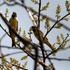 2012- Dickcissal- Ft Taylor- Key West- April