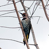 2010- northern yellow shafted flicker- Green Caye wetlands- Dec 2010