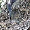 2012- tricolor heron and chicks- Gatorland rookery- April