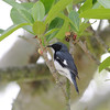 2009- Black-throated blue warbler Ft DeSoto
