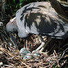 2012- tricolor heron with eggs_ Gatorland rookery
