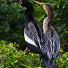 Anhinga Couple