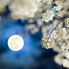 Moon and Pear Flower