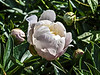 D153-2013 Paeonia 'Isoline' (mis-labeled 'Isoine' on the PG bed maps.<br /> Bed 18, row 1, columns 3-4<br /> <br /> PG database has no entry for 'Isoine'.   It does have the following information about 'Isoline', which seems to match the flowers I photographed. <br /> 1976-K:043 (Lemoine, 1916) - Double - White - Midseason. Rank odor. Anemone; large. Guards cup-like, cream-white fading lighter; center tuft canary-yellow paling almost white, and marked with prominent crimson spots. Possibly it is of technically a double-type flower but is of distinct anemone or flattish globular form. The blooms seem to be frequently imperfect, opening sideways. M.<br /> <br /> .<br /> Peony Garden at Nichols Arboretum<br /> Ann Arbor, Michigan<br /> June 2, 2013 (Sunday of the weekend Peony Festival)