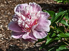 D153-2013 Paeonia 'Do Tell'<br /> Bed 21, row 1, columns 1-2<br /> PG database:<br /> 1976-K:021 Jap. - Pink. Outer petals very pale orchid pink, narrow center petals much darker, some of them red. A very striking combination, with the color contrast the strongest of any type I (Auten) have seen. Letter from Mr. Auten, 1955. Auten catalog.<br /> .<br /> Peony Garden at Nichols Arboretum<br /> Ann Arbor, Michigan<br /> June 2, 2013 (Sunday of the weekend Peony Festival)