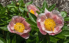 D141-2014  First of the herbaceous peonies to bloom<br /> <br /> Bed 20, Row 2, column 3, no ID in current bed maps<br /> Nichols Arboretum Peony Garden, Ann Arbor<br /> May 21, 2014