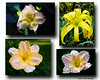 20150329 Four Daylilies final