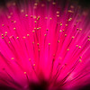 Mimosa Macro (Pink Pin Cushion)