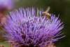 Honeybee on a Cardoon Flower (Cynara cardunculus),