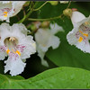 Flowers from a large catalpa tree. I recognized the leaves but had never seen the flowers before. Huber Heights, north of Dayton, Ohio, so we'll say Northern Catalpa? There were several around and did not look like they were planted.