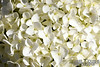 Close-up of some white hydrangeas