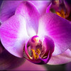 A beautiful orchid flower in glowing vivid colour.
