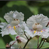 Same catalpa flowers a day after, with more sunshine.
