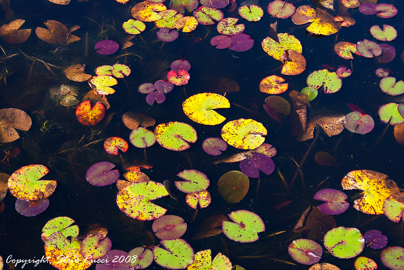 Colorful fall lilypads in Tate's Hell State Forest, Florida.