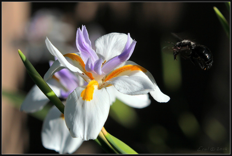 Dietes grandiflora (large wild iris, fairy iris), native of South Africa.
