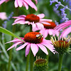 Purple coneflowers with a buzzing bee.