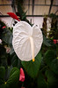 White Anthurium Yellow Tip