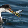 Western Grebe with a  fresh catch Bolsa Chica Wetlands • Huntington Beach, CA
