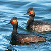 Eared Grebes in breeding plumage Bolsa Chica Wetlands • Huntington Beach, CA