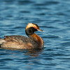 Horned Grebe in breeding plumage Bolsa Chica Wetlands • Huntington Beach, CA