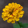 • Location - Leu Gardens<br /> • Zinnia