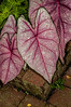 • Location - Leu Gardens<br /> • Caladium Bicolor