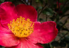 Yuletide flower - sasanqua camellias
