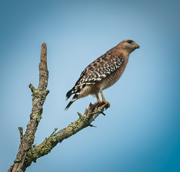• Torsohatchee State Reserve • Red-Shouldered Hawk