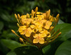 Yellow Ixora