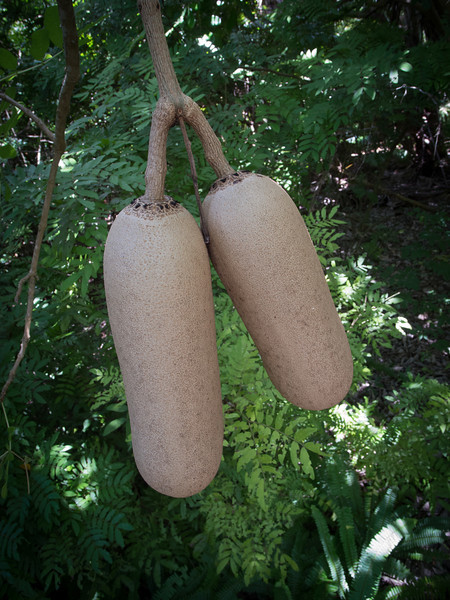 Sausage tree fruit, Kigelia