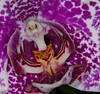 Platinum Coast Orchid Society 50th Annual Orchid Show