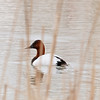 Canvasback, Aythya valisineria  A beautiful bird with a vibrantly coloured head and neck, contrasting black chest and white body.