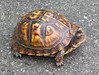 00aFavorite 20140722 Eastern Box Turtle (likely female) I biked past on Third Fork Creek Trail (0940)