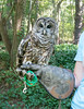 00aFavorite 20140920 Barred Owl (in rehabilitation), Ellerbe Creek, Durham NC (1559)
