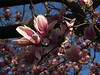 Partially opened blooms on Magnolia, Morning