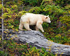 This photograph of a Spirit Bear or Kermode Bear crossing a log was captured in the Great Bear Rainforest, British Columbia, Canada (10/12).  This photograph is protected by the U.S. Copyright Laws and shall not to be downloaded or reproduced by any means without the formal written permission of Ken Conger Photography.
