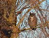 GREAT HORNED OWL_590001
