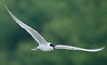 Gull-billled Tern