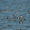 Lots of Lesser Scaup